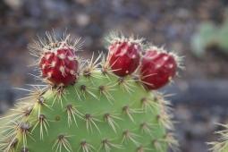 cactusfruit