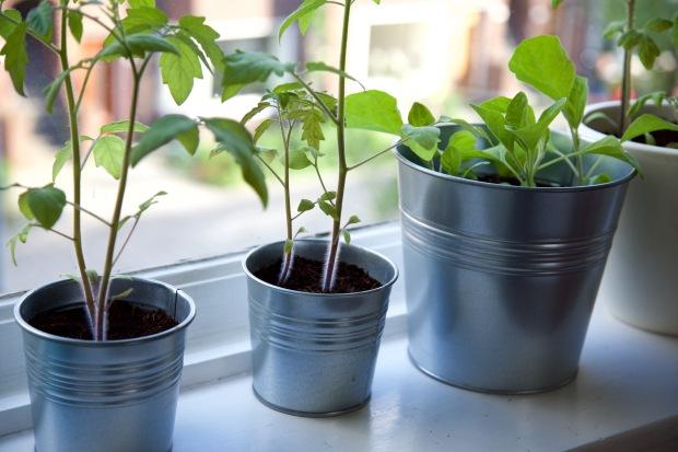 tomatenplantjes