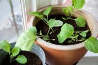 aubergine planten